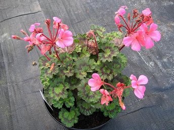 Pelargonstickling, 'Debbie Thrower', rotad