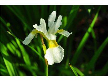Iris sibirica Alba SAGOLIK IRIS HÄRLIGA VITA BLOMMOR MED GUL BOTTEN - årjäng - Iris sibirica Alba SAGOLIK IRIS HÄRLIGA VITA BLOMMOR MED GUL BOTTEN - årjäng