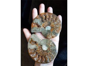 Ett par ammoniter. Fossil från Madagaskar - Orsa - Ett par ammoniter. Fossil från Madagaskar - Orsa