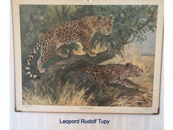 Javascript är inaktiverat. - Gällivare - Beskrivning Leoparder Rudolf Tupy Storlek på planscherna ca 96x73 cm. Fler planscher finns, skicka fråga om motiv! - Gällivare