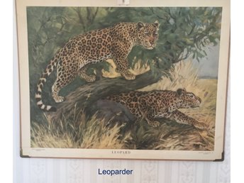 Javascript är inaktiverat. - Gällivare - Beskrivning Leoparder Rudolf Tupy Storlek på planscherna ca 96x73 cm. - Gällivare