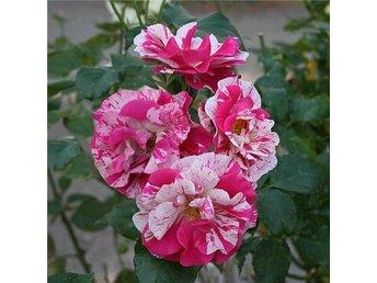 Javascript är inaktiverat. - Karlskrona - Växtsättet är buskigt. Bladverket är mörkgrönt och glänsande. Stora blommor (8-10 cm i diameter) och halvfyllda. Blomfärgen är röd-vitstrimmig. Doften är vildrosliknande. Blommar nära nog oavbrutet från juli till senhösten. Anv