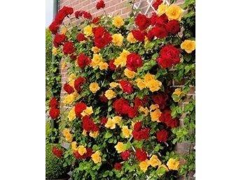 Javascript är inaktiverat. - Karlskrona - Jag har köpt in rosenfröer från Holland av klätterrosen Spanien Flag. Den doftar mycket gott. Du budar på 10 grobara fröer. - Karlskrona