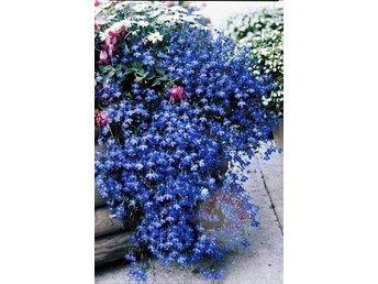 Häng lobelia blå 50 frön - Rimbo - Häng lobelia blå 50 frön - Rimbo