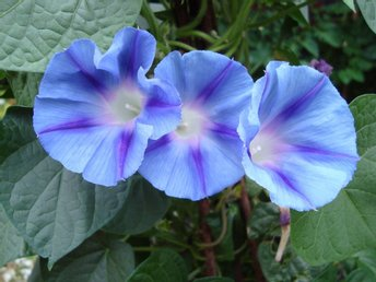 PURPURVINDA 'BLUE STAR'