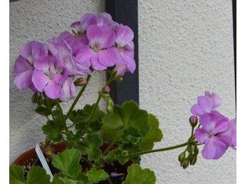 Javascript är inaktiverat. - Sunne - En välrotad stickling i brikett med skönheten Blue Wonder. Mycket vackra rosalila-lavendelblå, halvdubbla blommor med vitt öga. Mellangrön blad utan zon. En raritet! Börjar blomma tidigt, i april maj, och blommar villigt hela sommaren. På b - Sunne