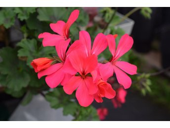 Pelargonstickling, 'Dark Caliente Hot Coral' rotad