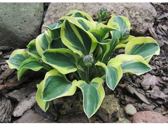 "Funkia......Hosta.....""Lucky Mouse"""