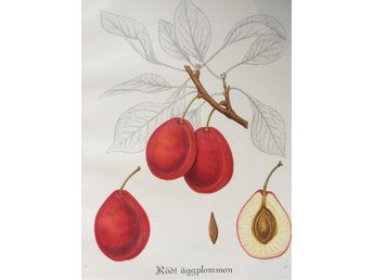 SWEDISH FRUITS OLD BOTANICAL PRINT SVENSKA FRUKTER PLANSCH PLOMMON Rött Ägg