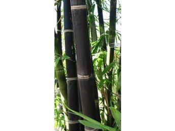 Javascript är inaktiverat. - Skurup - Frö till SVART Bambu som finns härhemma i Sverige Ingen väntetid. Inga extra avgifter. 5 st. frö till SVARTA bambu. Se bild #1. Mycket vacker, exklusiv. Kan nå 5 meter beroende på växt miljön. Obs! Det är frö och inte plantor vi säljer - Skurup