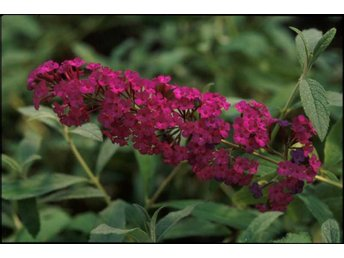 "Buddleja Davidii, ""Royal Red"". Fjärilsbuddleja rotad"