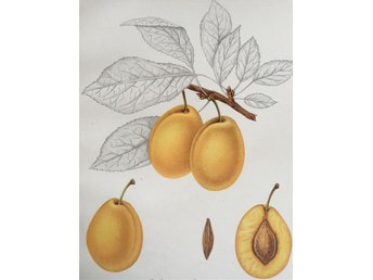 SWEDISH FRUITS OLD BOTANICAL PRINT SVENSKA FRUKTER PLANSCH PLOMMON Gula Ägg