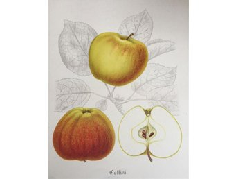 "SWEDISH FRUITS OLD BOTANICAL PRINT SVENSKA FRUKTER PLANSCH ÄPPLE ""Cellini"""