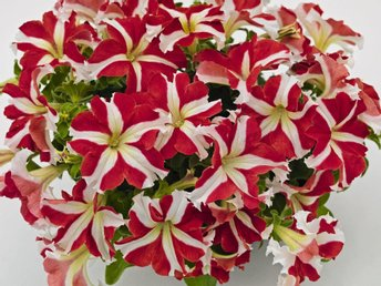 "Petunia ""Success Red Star"" 5  frön"