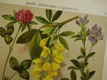 1911 Vintage antik tryck print botanik bilder växter blommor botanis laburnum - Amsterdam - 1911 Vintage antik tryck print botanik bilder växter blommor botanis laburnum - Amsterdam