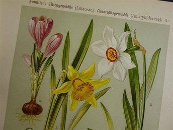 1911 Vintage antik tryck print botanik bilder växter blommor botanis narciss - Amsterdam - 1911 Vintage antik tryck print botanik bilder växter blommor botanis narciss - Amsterdam
