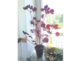 Blood leaf plant