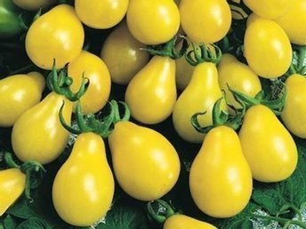 5 st fröer ekologisk tomat YELLOW PEAR rolig/grönsak/ovanlig/gul/odla/trädgård - Stockholm - 5 st fröer ekologisk tomat YELLOW PEAR rolig/grönsak/ovanlig/gul/odla/trädgård - Stockholm