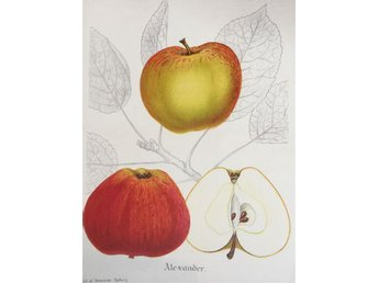 "SWEDISH FRUITS OLD BOTANICAL PRINT SVENSKA FRUKTER PLANSCH ÄPPLE ""Alexander"""