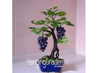 Miniature druvsorter Bonsai frö - Norrköping - Miniature druvsorter Bonsai frö - Norrköping