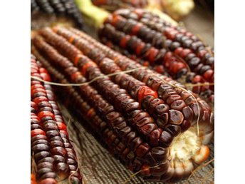 popcorn majs frö