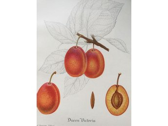 SWEDISH FRUIT OLD BOTANICAL PRINT SVENSKA FRUKTER PLANSCH PLOMMON Queen Victoria