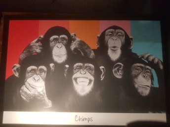 "Tavla ""chimps"""