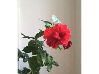 Tropisk hibiskus hibiscus Dianthoides - Stockholm - Tropisk hibiskus hibiscus Dianthoides - Stockholm