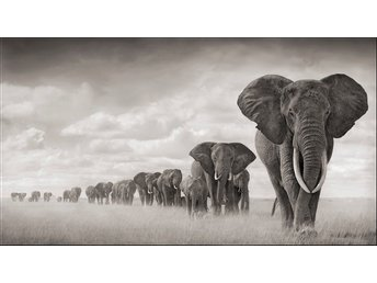 HELT NY ELEPHANTS WALKING THROUGH GRASS  av Nick Brandt från Fotografiska
