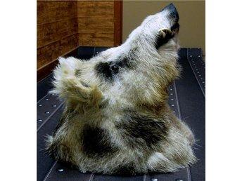 Ovanligt tecknat vildsvin ull borst betar fäll 9 bilder - Lerum - Ovanligt tecknat vildsvin ull borst betar fäll 9 bilder - Lerum