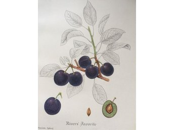 SWEDISH FRUITS OLD BOTANICAL PRINT SVENSKA FRUKTER PLANSCH PLOMMON Rivers