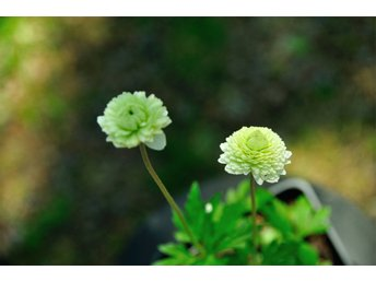 Anemone sylvestris Flora Plena DUBBEL TOVSIPPA - årjäng - Anemone sylvestris Flora Plena DUBBEL TOVSIPPA - årjäng