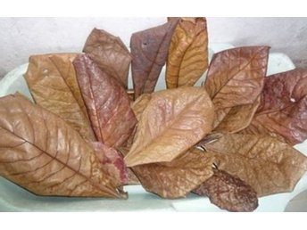 Mandellöv 5 st, Indian Almond Leaves