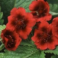 Potentilla 'Monarch´s Velvet' - Sammets Fingerört