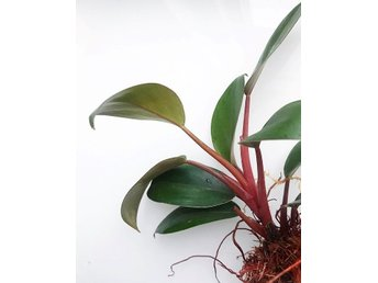 Philodendron Congo Red - rotad stickling