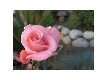 """Vacker ljus-rosa Ros - """"Ana Rosa"""" - Rosor - 6 frön - Tibro - Vacker ljus-rosa Ros - """"Ana Rosa"""" - Rosor - 6 frön - Tibro"""