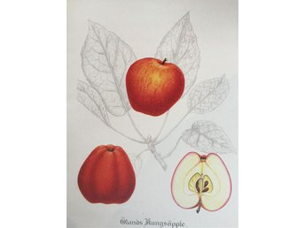 SWEDISH FRUITS OLD BOTANICAL PRINT SVENSKA FRUKTER PLANSCH ÄPPLE Ölands Kungs-