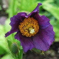 Meconopsis Baileyi 'Hensol Violet - Lila Bergsvallmo
