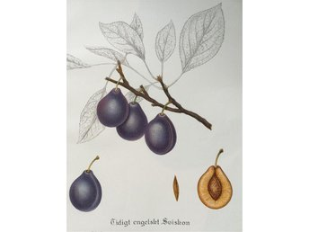 SWEDISH FRUITS OLD BOTANICAL PRINT SVENSKA FRUKTER PLANSCH PLOMMON Sviskon Eng.