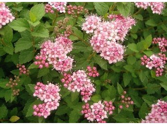 Prakt spirea - spiraea J. Little princess zon 1-6