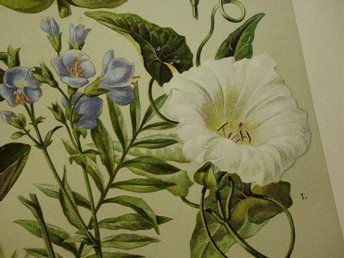 1911 Vintage antik tryck print botanik bilder växter blommor botanis Jakobsstege - Amsterdam - 1911 Vintage antik tryck print botanik bilder växter blommor botanis Jakobsstege - Amsterdam